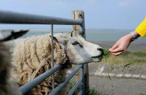 schapen voederen op Texel - Paasvakantie 2021